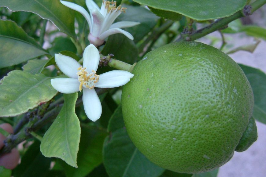 [a lime fruit on a branch with two white lime blossoms]
